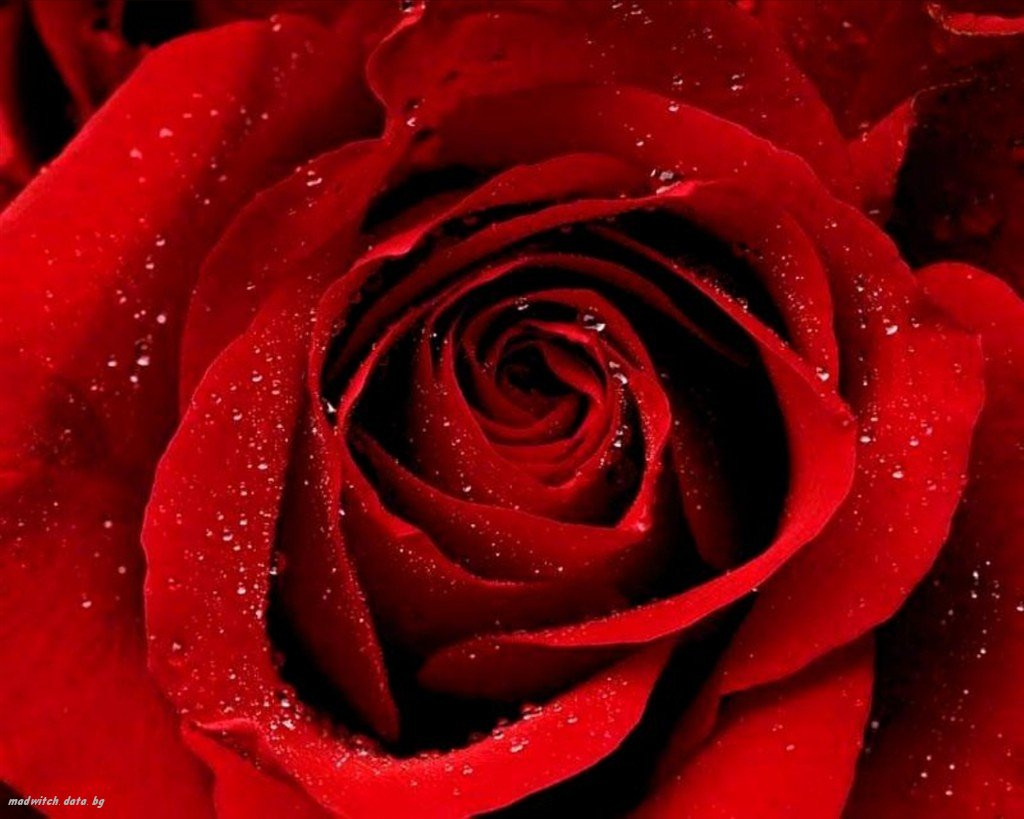 background Red rose